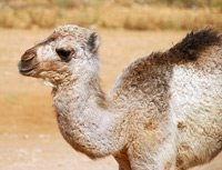Camels as burgers, Jack Astor's glory, McDonald's goes green
