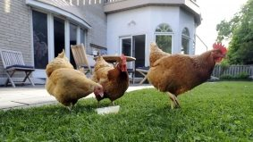 Cooped up: A woman is in hiding as she fights for Torontonians' right to keep chickens in their backyard