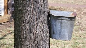 """""""Tapping"""" jokes inevitable as city allows environmentalists to make syrup from inner-city maples"""