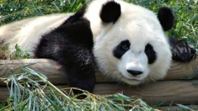 Pandas in Toronto: city caught between wanting cute things and wanting to cut spending