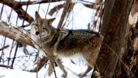 Sign of spring #1: the Toronto Sun starts covering coyote sightings