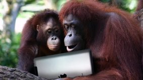Toronto Zoo's orangutans to get an iPad—and the chance to fingerpaint, 21st century–style