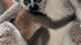 Baby animal watch: the Toronto Star wonders who this lemur's daddy might be