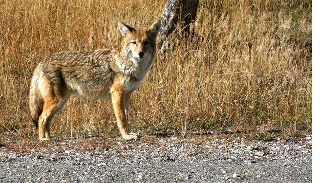 The city is warning Toronto residents to beware of coyotes on the prowl