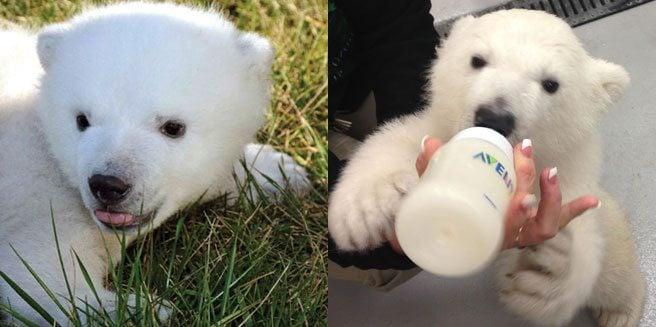 Battle of the baby polar bears: does Toronto or Buffalo have the cutest cub?