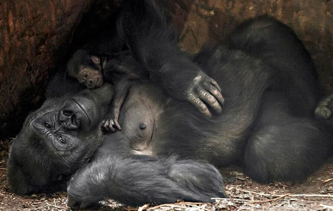 See the Toronto Zoo's new baby gorilla