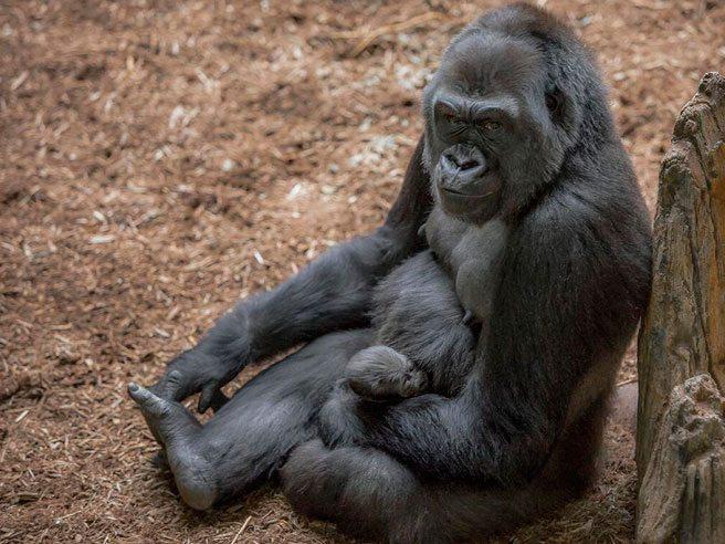 zoo-gorilla-baby-2