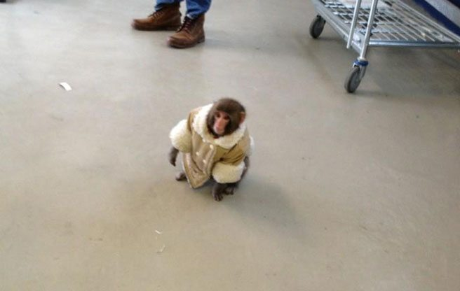 The Ikea monkey saga is over; he's free to frolic with other monkeys forever and ever