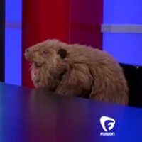 VIDEO: here's Rob Ford as a muppet beaver