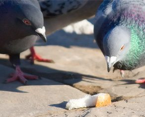 Dear Urban Diplomat: what can I do to ward off my neighbour's pigeon pals?
