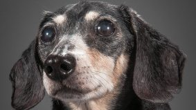 Twelve adorable senior dog portraits from Toronto photographer Pete Thorne