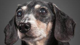 Twelve adorable senior dog portraits from Toronto photographer Pete Thorne