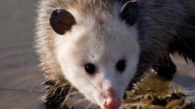 Dead opossums, and other strange things you could be swapping on Bunz Trading Zone