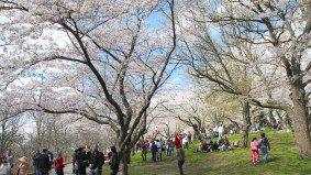 High Park's cherry trees may not blossom this year