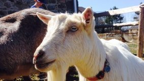 I gave up my fast-paced life as a Toronto film executive to raise a herd of Nigerian dwarf goats