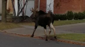 What people are saying about Markham's rogue moose