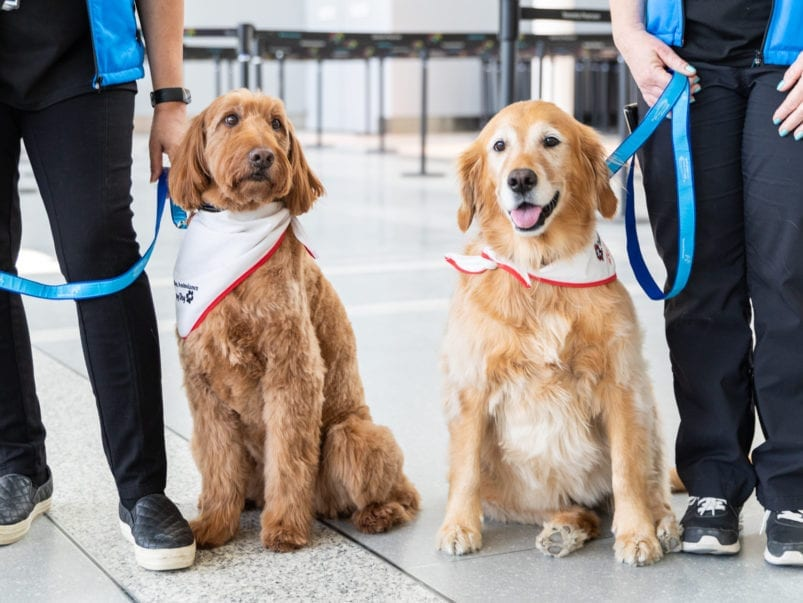 Meet Pearson Airport's new therapy dogs