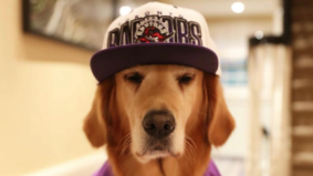 The most enthusiastic furry Raptors fans