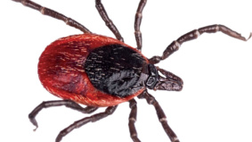 A super-handy, semi-scientific guide to Toronto's blacklegged tick problem