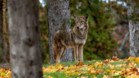 """""""More sightings don't necessarily equal more coyotes"""": We asked a wildlife advocate if coyotes are really taking over the city"""